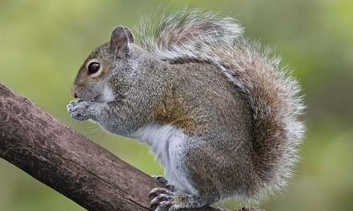 Squirrel-wildlife-threat-power-grids.jpg